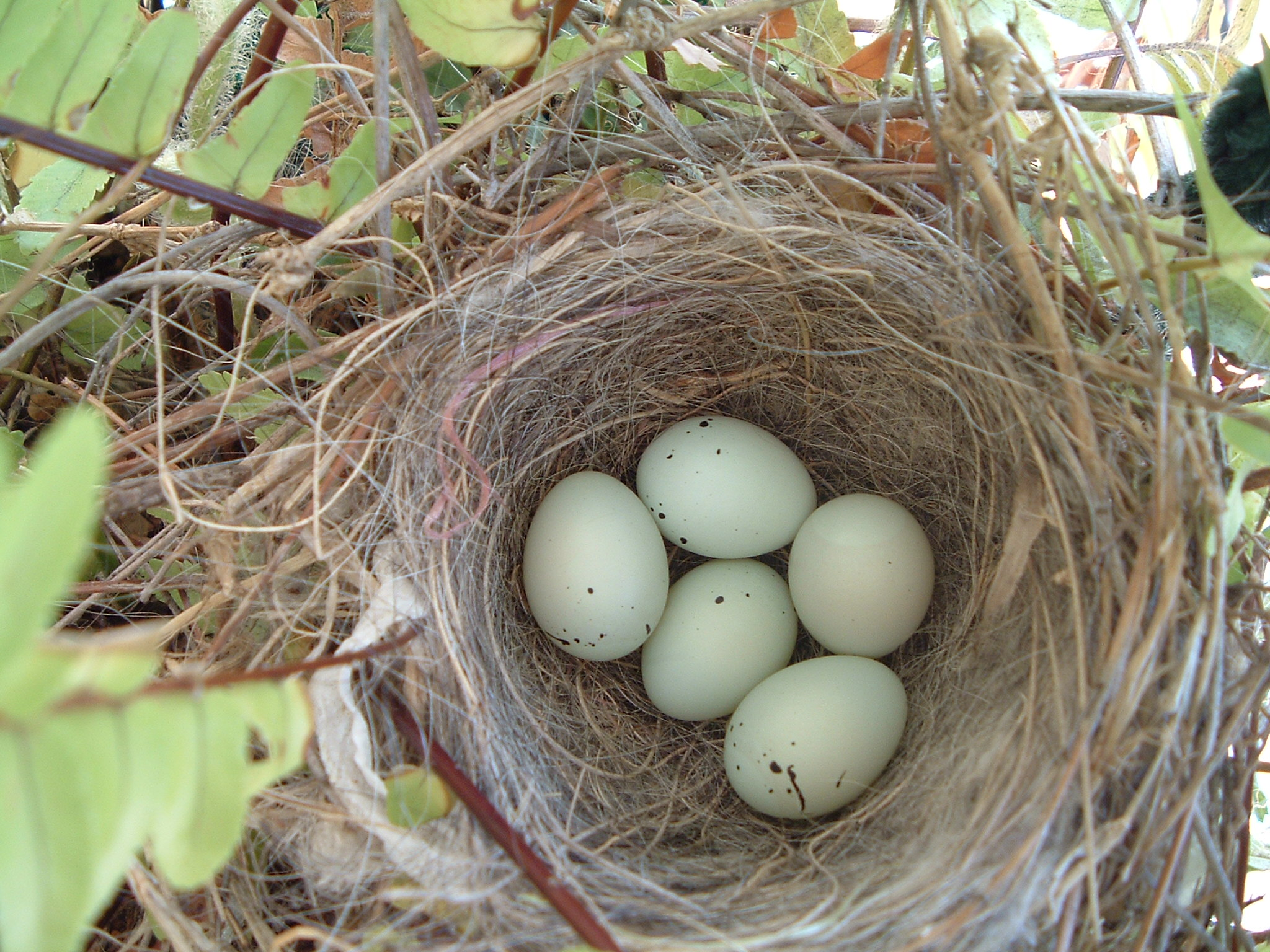 Displaying 18> Images For - Blue Bird Eggs With Brown Spots...